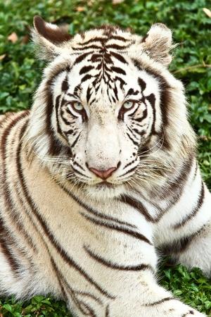tigre blanc: tigre blanc admirer Banque d'images
