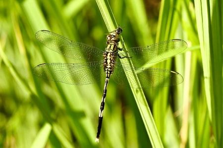dragonfly  eat victim photo