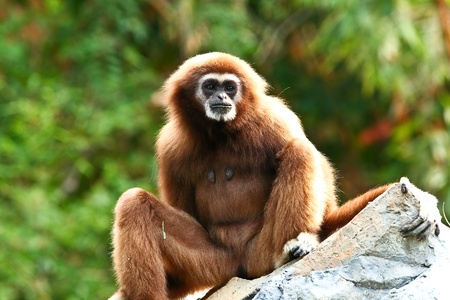 gibbon in chaingmai zoo Stock Photo - 11854029