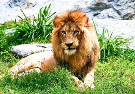 Lion lying in zoo chiangmai Thailand photo