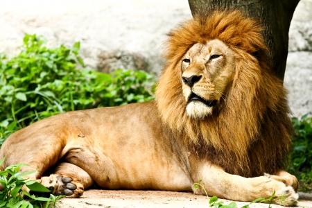 Lion lying in zoo chiangmai Thailand