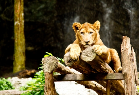 young lion admire