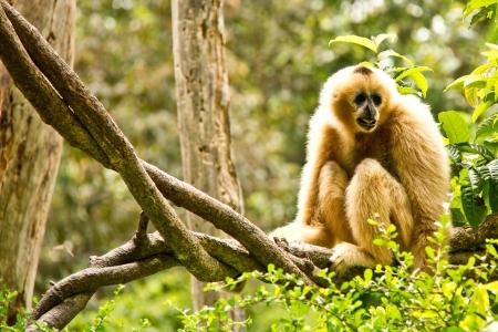 gibbon in chiangmai zoo Editorial