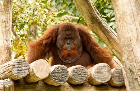 attraktion: orangutan in chiangmai zoo Editorial