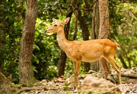 deer in chiangmai zoo