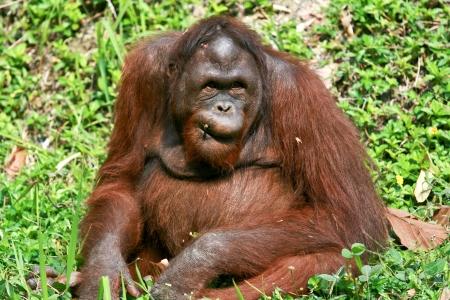 orangutan in chiangmai zoo Stock Photo - 15131830