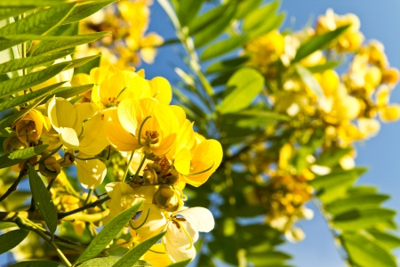 fistula: flower of cassia fistula tree