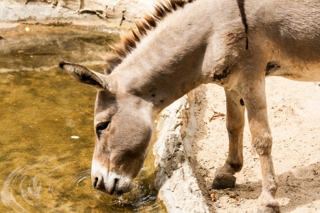 donkey in chiangmai zoo Thailand photo