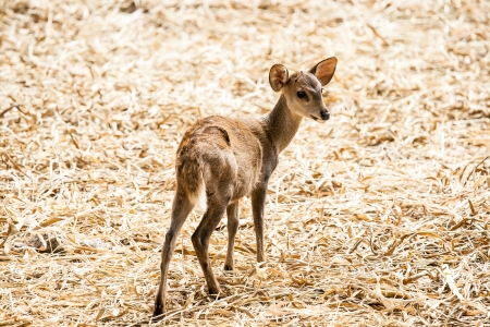 deer in chiangmai zoo Thailand photo