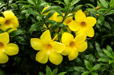 yellowtrumpet or allamanda Stock Photo - 16687006