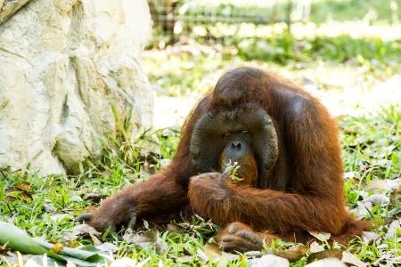 orangutan in chiangmai zoo Thailand Stock Photo - 16796977