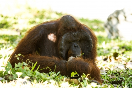 orangutan in chiangmai zoo Thailand Stock Photo - 16796965