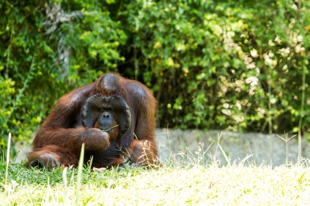 orangutan in chiangmai zoo Thailand Stock Photo - 16796963