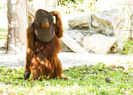 orang: orangutan in chiangmai zoo Thailand Stock Photo