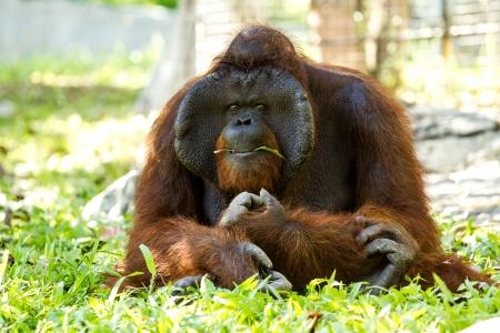 orangutan in chiangmai zoo Thailand Stock Photo - 16796971