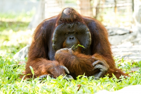 orangutan in chiangmai zoo Thailand Stock Photo - 16796970