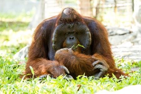 orangutan in chiangmai zoo Thailand Stock Photo - 16796970