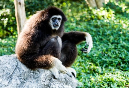 gibbon in chiangmai zoo Thailand Stock Photo - 16797017