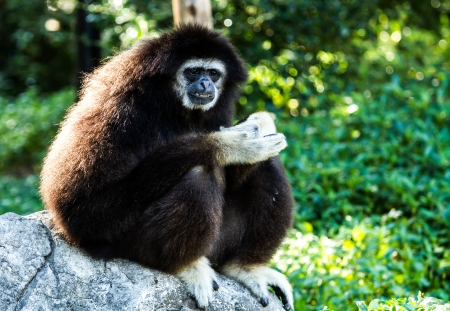 gibbon in chiangmai zoo Thailand photo