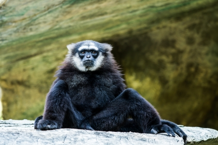 black gibbon photo