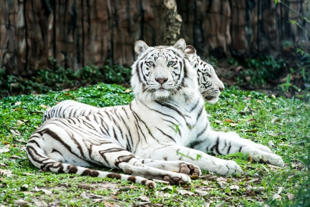 tigre blanco en nightsafari chiangmai Tailandia photo