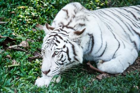white tiger in nightsafari chiangmai Thailand photo