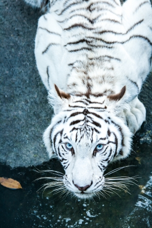 albino: white tiger in nightsafari chiangmai Thailand