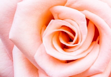 beautiful rose in Thailand