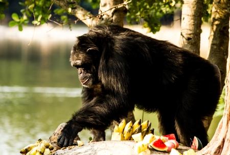 chimpanzee in nightsafari chiangmai Thailand photo