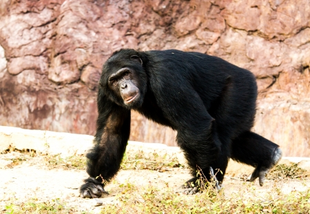 chimpanzee in nightsafari chiangmai Thailand photo