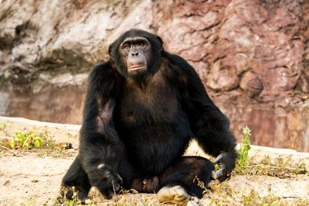 chimpanzee in nightsafari chiangmai Thailand