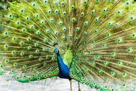 blue peacock in nightsafari chiangmai Thailand Standard-Bild