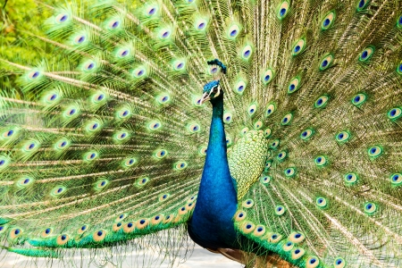blue peacock in nightsafari chiangmai Thailand photo