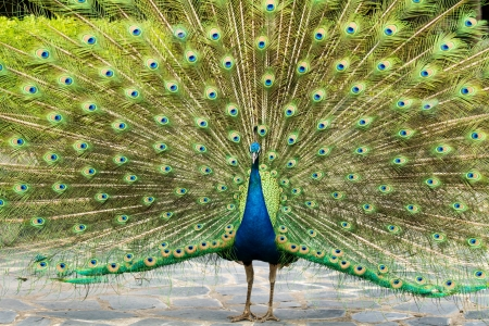 azul pavo real en nightsafari chiangmai Tailandia photo