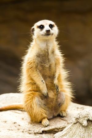 meerkat in nightsafari chiangmai Thailand Stock Photo