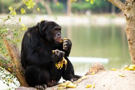 chimpanzee in nightsafari chiangmai Thailand Stock Photo - 18180673