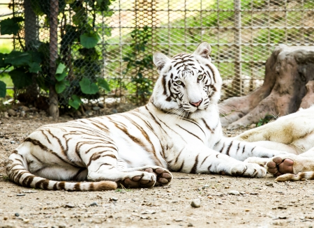 chiangmai: white tiger in nightsafari chiangmai Thailand