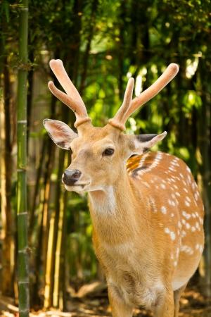 deer in nightsafari chiangmai Thailand Stock Photo
