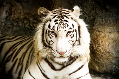 tiger white: white tiger in nightsafari chiangmai Thailand