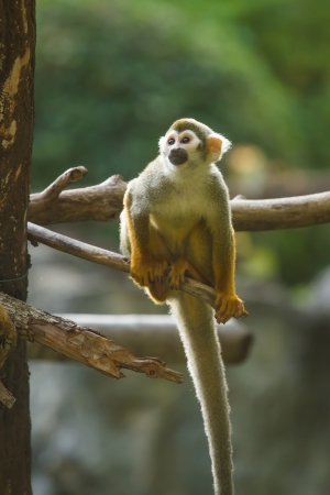 monkey in chiangmai Thailand photo