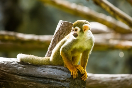 monkey in chiangmai  Thailand
