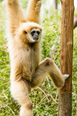 gibbon in chiangmai Thailand