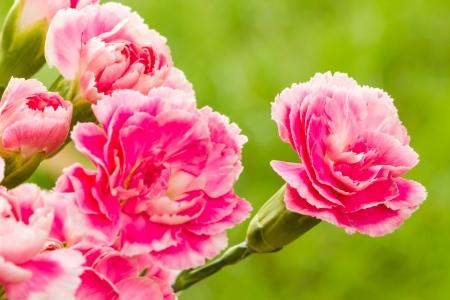 Pink carnation  photo