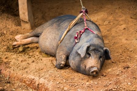 pig sleeping chiangmai Thailand