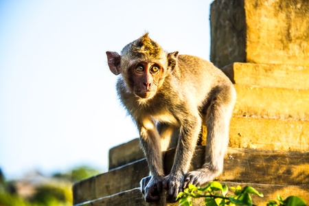 monkey at Uluwatu cliff bali indonesia photo