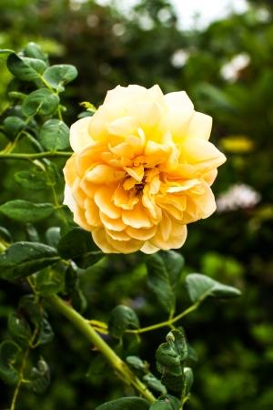 chiangmai: rose in the royalflora chiangmai Thailand