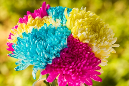 Chrysanthemum flower in chiangmai Thailand photo