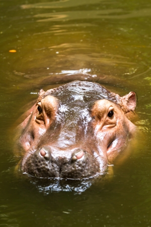 hippo in chiangmai zoo chiangmai Thailand photo