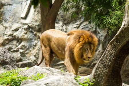 lion in chiangmai zoo chiangmai Thailand photo