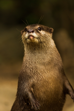 small clawed: otter in chiangmai zoo Thailand